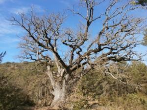 Árbol monumental, un gran quejigo, entre Purroy y Benabarre