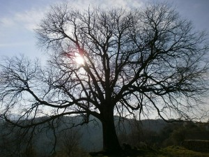 Lamata. Árbol monumental. Litonero