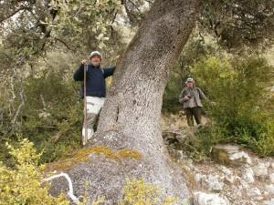Gran base de tronco de un roble en La Espelunga
