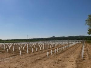 Plantación nueva de viñedos