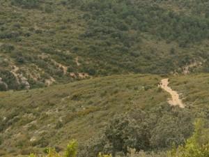 Camino de Bierge. Cabras asilvestradas por el camino