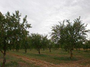 Abiego. Plantación de almendros