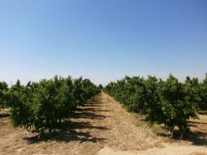 Albelda. Plantaciones de árboles frutales