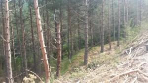 Camino del Tozal de Puntons. Pinos repoblados