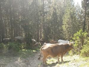 Subida al Circo de Armeña, Vacas pastando