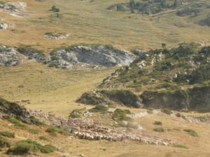 Pla d'Estañ. Vacas subiendo La Costera