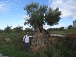 Sieso. Viejo olivo