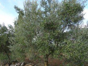 Camino de Casbas. Olivo cargado de fruto