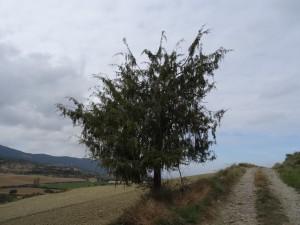 Camino de Lascuarre. Buen ejemplar de enebro (chinebro)
