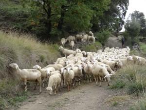 San Juan de Toledo. Rebaño de ovejas