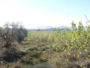 Camino de Valcarca. Plantación de chopos