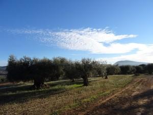 Viejo olivar, camino de Zurita