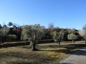 Buera. Bosque de los olivos