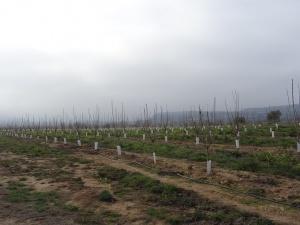 Artasona. Plantaciones de cerezos