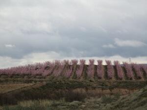 Villanueva de Sigena. Árboles frutales en flor