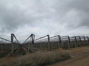 Villanueva de Sigena. Plantación de kiwis