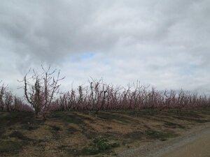 Árboles frutales, camino de Alcolea de Cinca