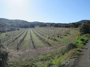 Artasona. Plantación de viñedos
