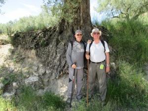 Alins del Monte. Buen ejemplar de olivo