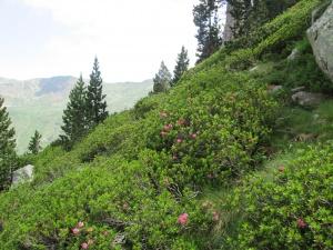Rododendro. Collado de La Renclusa