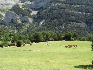 Escuaín. La Valle. Vacas pastando