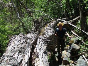 Camino de Bibiles. Buen ejemplar de árbol caído
