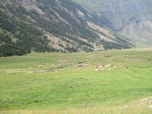 Vacada pastando