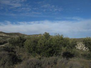 Cadrete. Campo de olivos