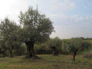 Radiquero. Campos de olivos