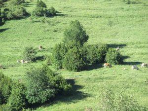 Ganado pastando en las laderas de Petrosos