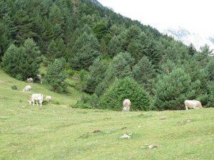 Vacada pastando en Cullivert